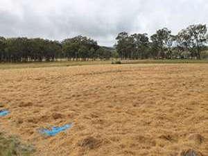 African love grass used as mulch at Rochford Organic Garlic