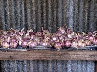 Oriental Purple Garlic