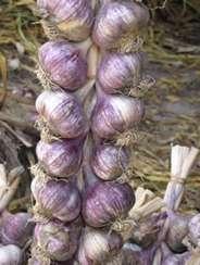 Strings of Oriental Purple garlic